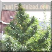 Female Easy Sativa Feminized Marijuana Seeds buy now!